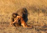 Olive Baboon (Papio anubis) eating a gazelle