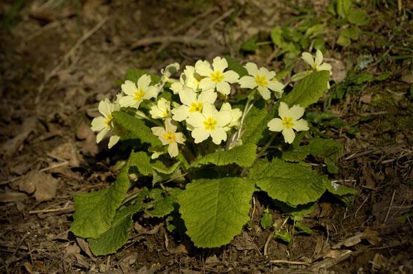 English Primrose (Primula vulgaris)
