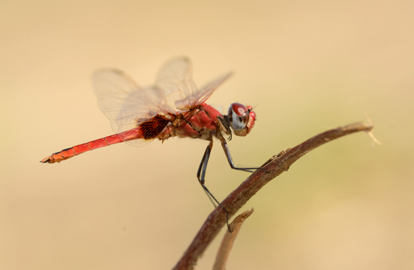 Red Dragonfly species, Zimbabwe