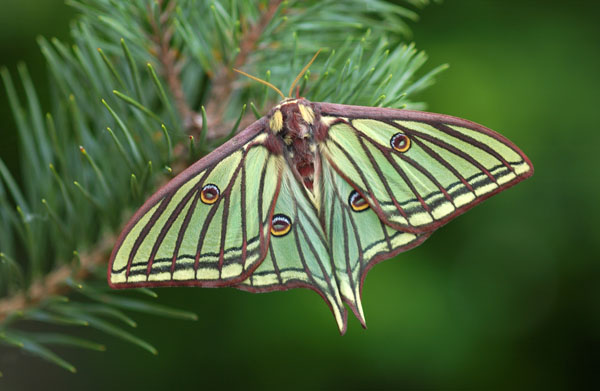Female Spanish Moon Moth (Graellsia isabellae)