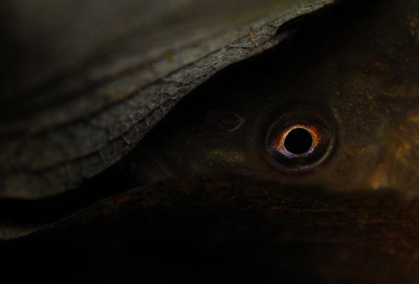 Tench Eye