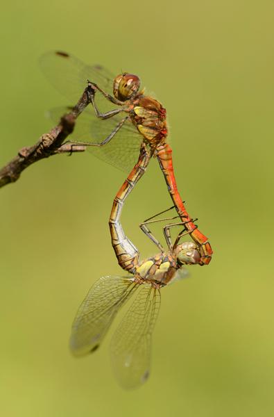 Common Darter Dragonfly (Sympetrum striolatum) pair mating, UK