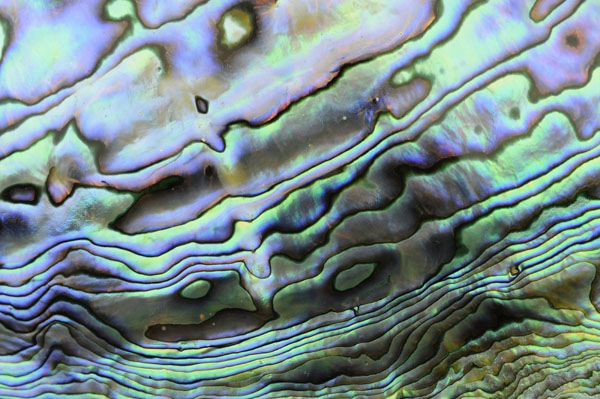 Abalone Shell colour and pattern, New Zealand