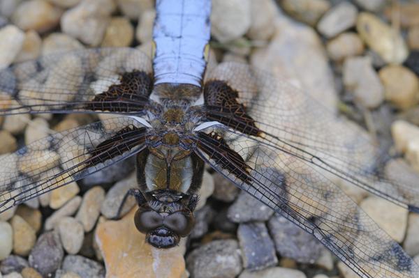 Male Broad-bodied Chaser Dragonfly (Libellula depressa) UK