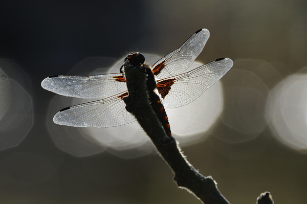 Male Broad-bodied Chaser Dragonfly (Libellula depressa) UK