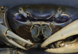 Blue Crab Trinidad