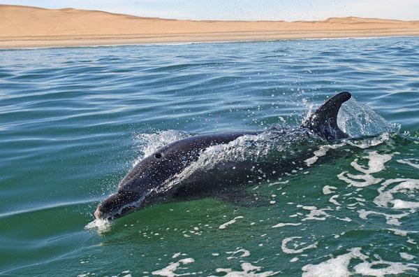 Bottlenose Dolphin (Tursiops truncatus) swimming off the coast of Namibia