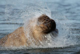 Grizzly Bear (Ursus arctos) shaking itself dry