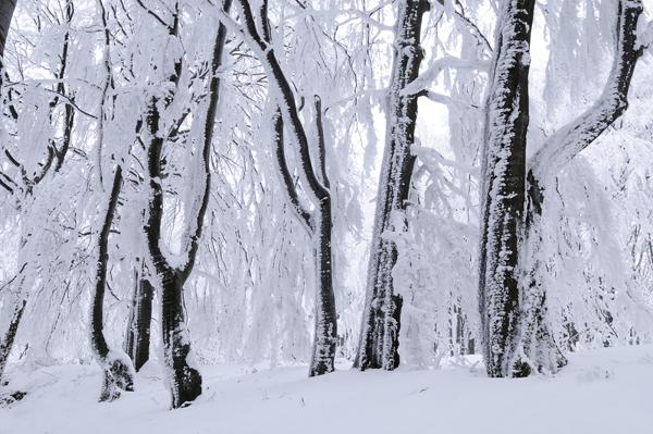 Beechwood in Winter, Bulgaria