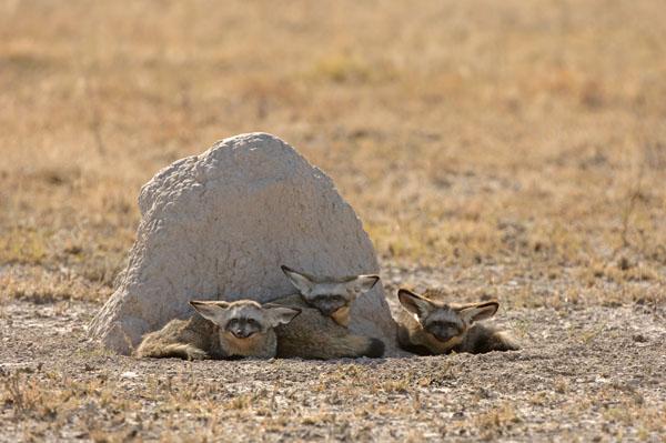A family of Bat-eared Foxes (Octocyon megalotis), Botswana