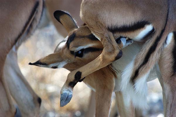 Black-faced Impala (Aepyceros melampus petersi), Namibia
