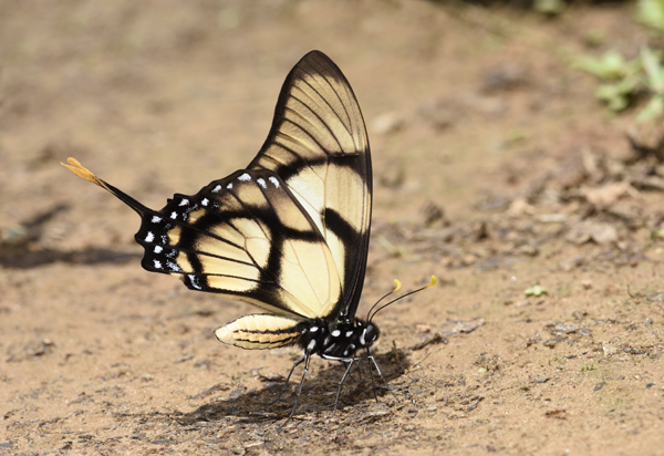 Dolicaon Swordtaill Butterfly