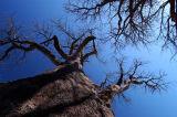 Boabab (Adansonia digitata) Trees, Botswana