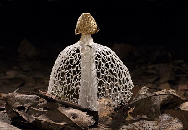 Bridal Veil Stinkhorn Fungus