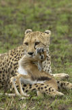Cheetah (Acinonyx jubatus) with baby gazelle kill