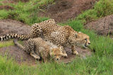 Cheetah (Acinonyx jubatus) and cub taking a drink