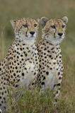 Male Cheetahs (Acinonyx jubatus) on the lookout