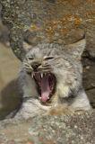 Canadian Lynx (Lynx canadensis)
