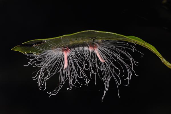 Very Hairy Caterpillar