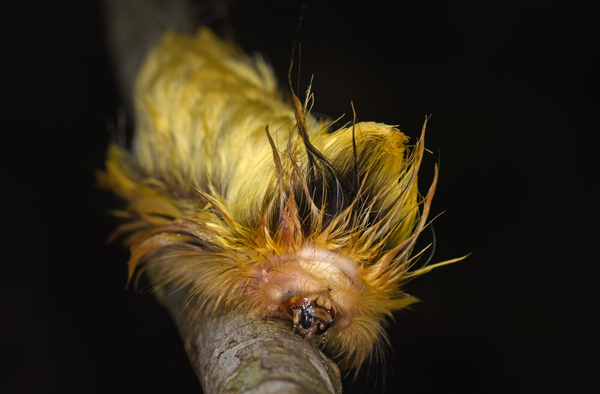 Caterpillar of the Flannel Moth