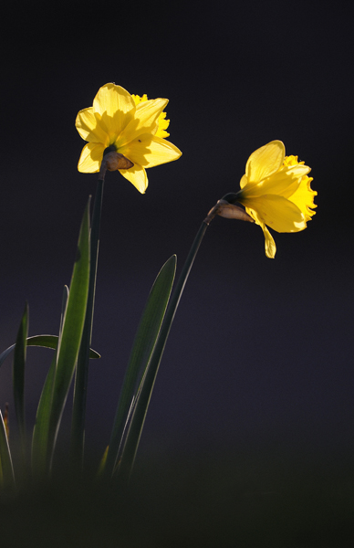 Daffodils (Narcissus) the herald of Spring, UK