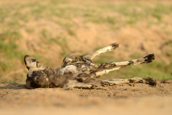 Wild Dog stretching