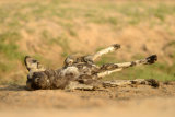 Wild Dog stretching