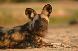 Portrait of a Wild Dog