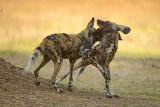 Wild Dogs greet each other