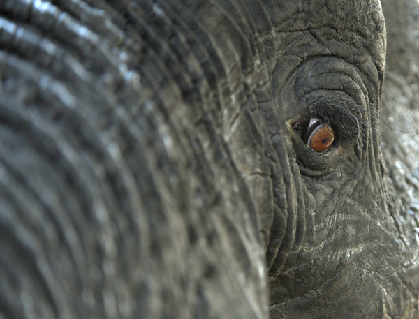 A different view of an African Elephant