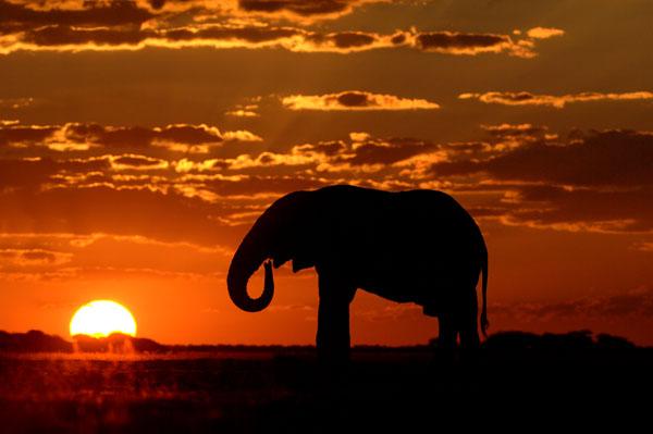 African Elephant (Loxodonta africana) drinking at sunset, Botswana