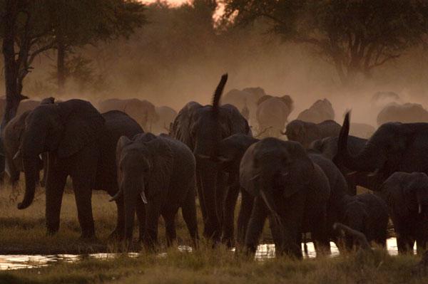 African Elephants (Loxodonta africana) drinking