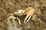 Fiddler Crab, Galapagos Islands