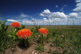 Fireball Lily, Masai Mara, Kenya