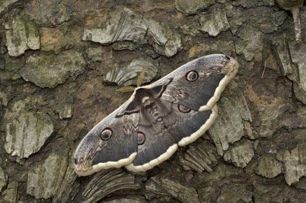 Giant Emperor Moth (Saturnia pyri)
