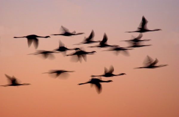 Flamingoes in flight, Namibia