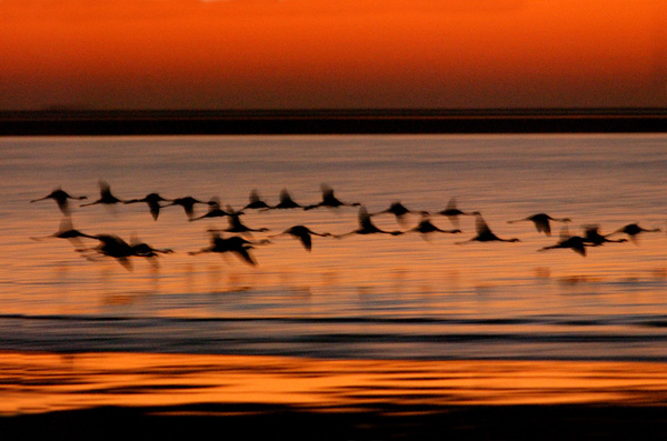 Flamingos Flying at Sunset, Namibia