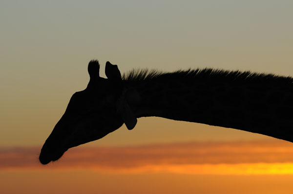Giraffe in silhouette at sunrise, South Africa