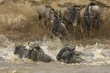 Blue Wildebeast (Connochaetes taurinus) crossing The Mara River, Kenya