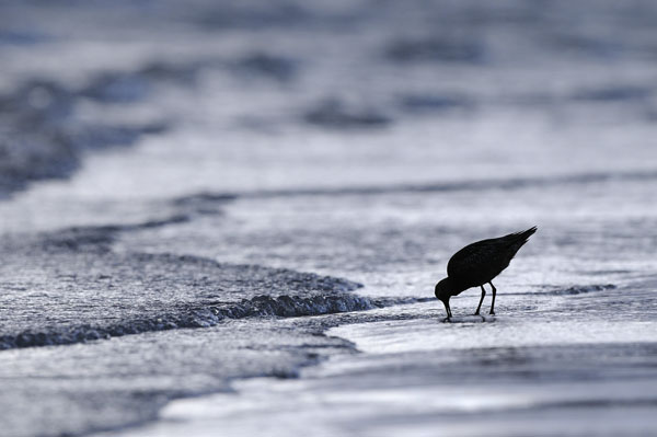 The Lone Wader, Norway