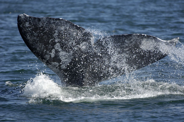 Grey Whale diving