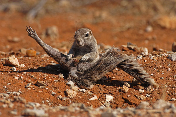 Cape Ground Squirrel ( Xerus inauris), Namibia