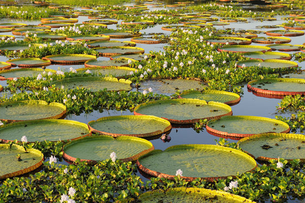 Giant Water Lilies, The Pantanal, Brazil