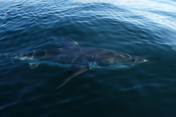 Great White Shark (Carcharodon carcharias) swimming at the surface, False Bay, Cape Town