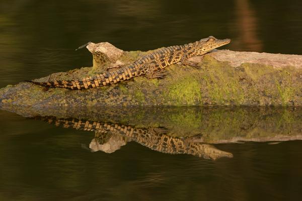 Juvenile Nile Crocodile
