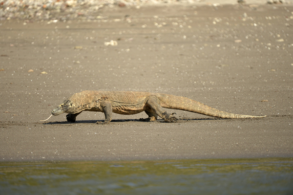 A Dragon takes a stroll along the beach on Rinca Island
