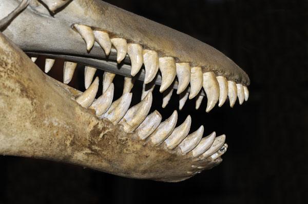 The skull of a Killer Whale