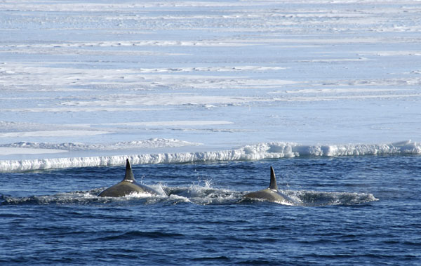 Killer Whales or Orcas (Orcinus orca) patrolling the edge of the ice, Antarctica