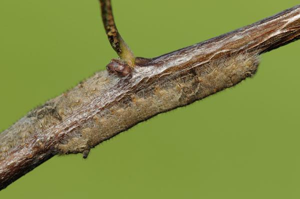 Caterpillar of The Lappet Moth