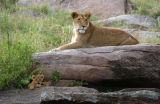 Lioness (Panthera leo) and cubs, Kenya